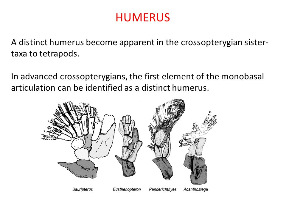 HUMERUS A distinct humerus become apparent in the crossopterygian sister- taxa to tetrapods. In advanced crossopterygians, the first element of the mo