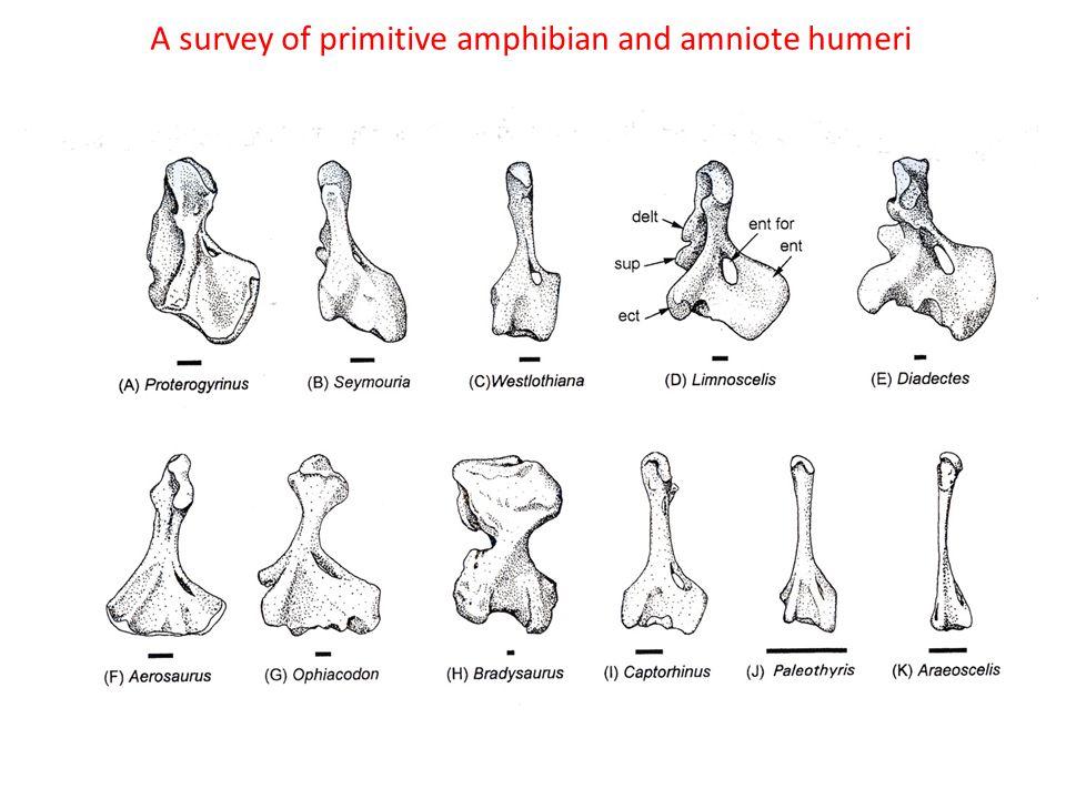 A survey of primitive amphibian and amniote humeri
