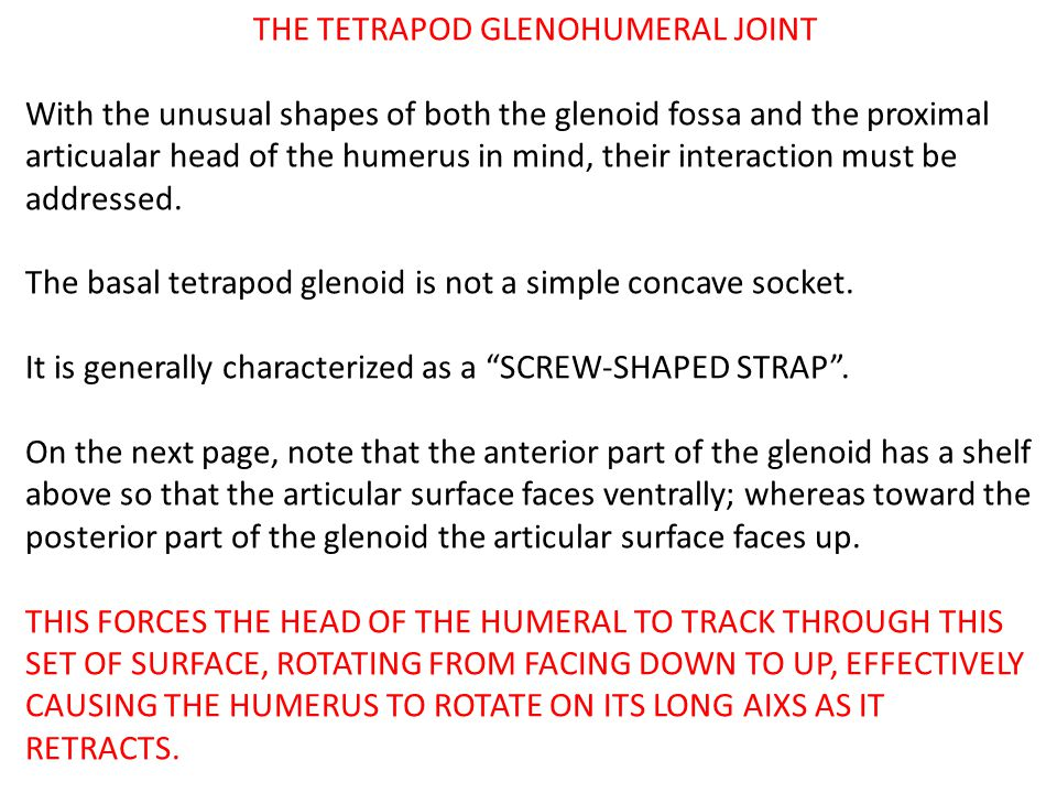 THE TETRAPOD GLENOHUMERAL JOINT With the unusual shapes of both the glenoid fossa and the proximal articualar head of the humerus in mind, their inter