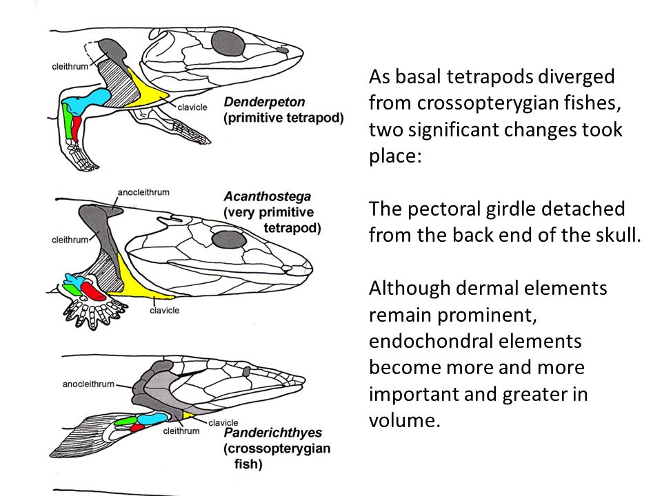 As basal tetrapods diverged from crossopterygian fishes, two significant changes took place: The pectoral girdle detached from the back end of the sku