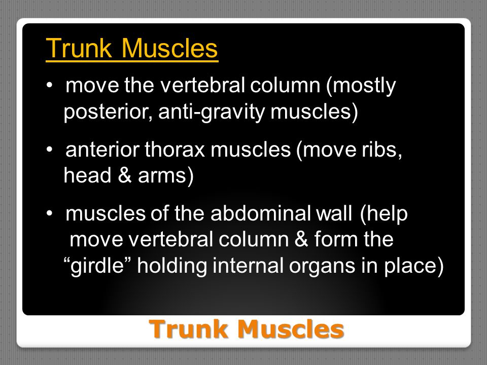 Trunk Muscles move the vertebral column (mostly posterior, anti-gravity muscles) anterior thorax muscles (move ribs, head & arms) muscles of the abdom