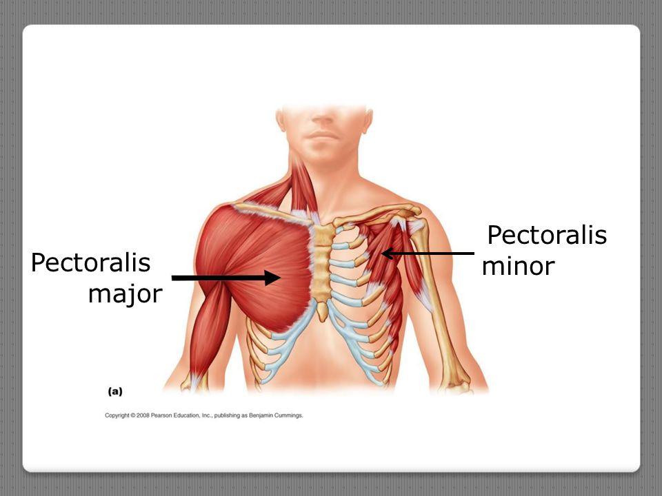Pectoralis major Pectoralis minor