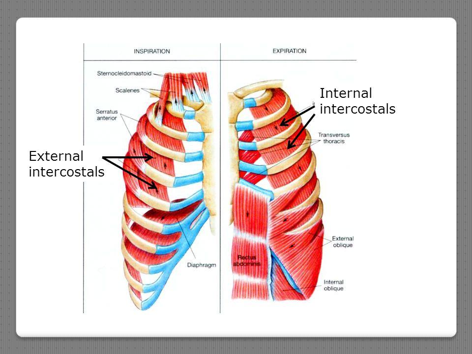 External intercostals Internal intercostals