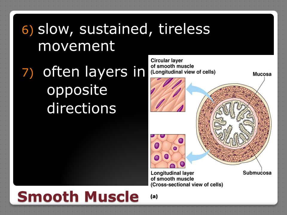 Smooth Muscle 6) slow, sustained, tireless movement 7) often layers in opposite directions
