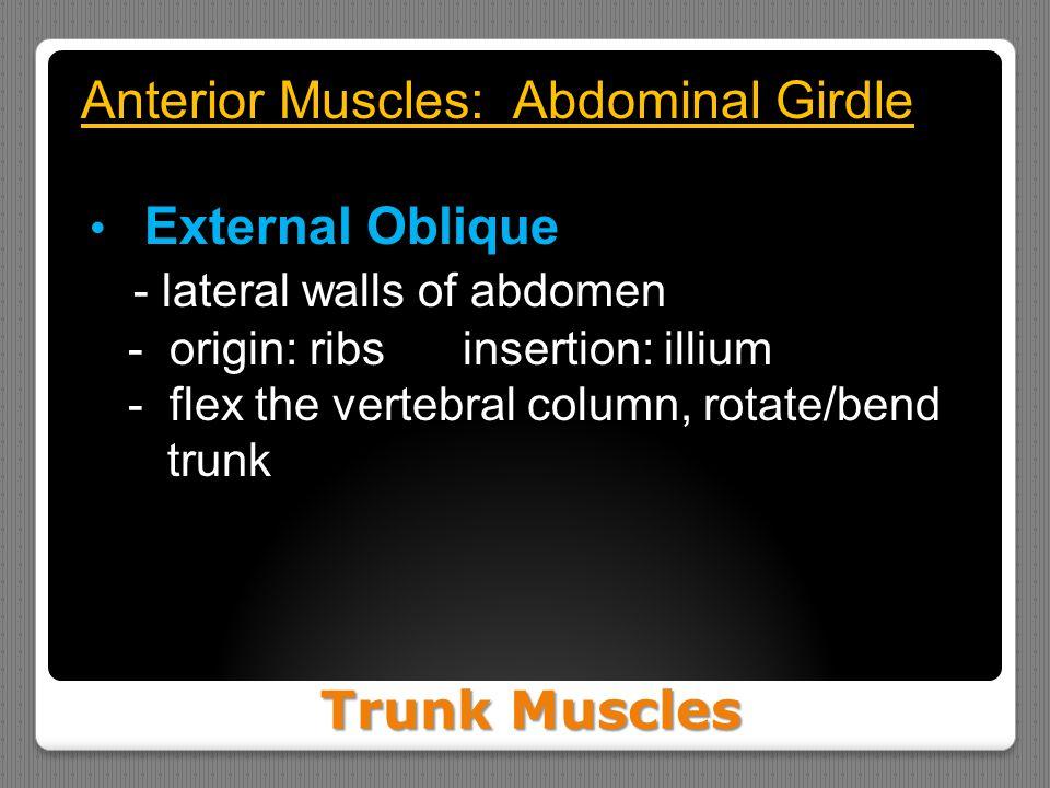 Trunk Muscles Anterior Muscles: Abdominal Girdle External Oblique - lateral walls of abdomen - origin: ribs insertion: illium - flex the vertebral column, rotate/bend trunk