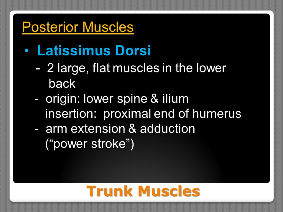 Trunk Muscles Posterior Muscles Latissimus Dorsi - 2 large, flat muscles in the lower back - origin: lower spine & ilium insertion: proximal end of hu