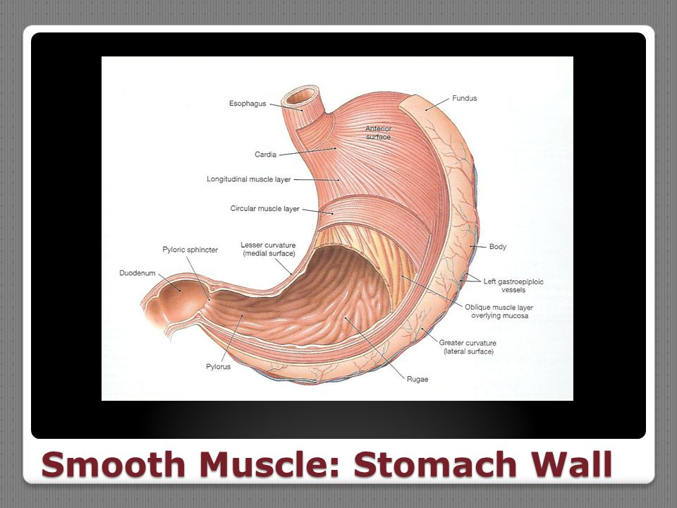 Smooth Muscle: Stomach Wall