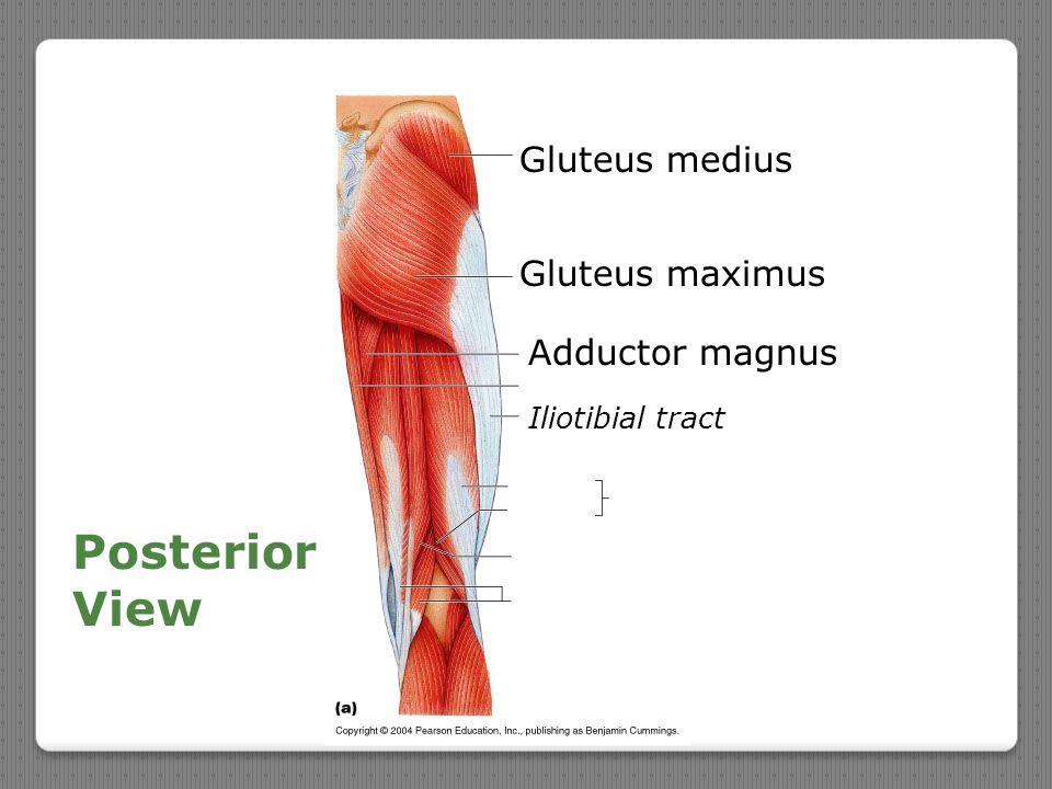 Posterior View Gluteus medius Gluteus maximus Adductor magnus Iliotibial tract