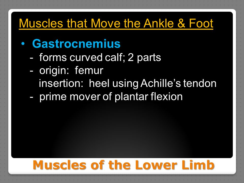 Muscles of the Lower Limb Muscles that Move the Ankle & Foot Gastrocnemius - forms curved calf; 2 parts - origin: femur insertion: heel using Achille'