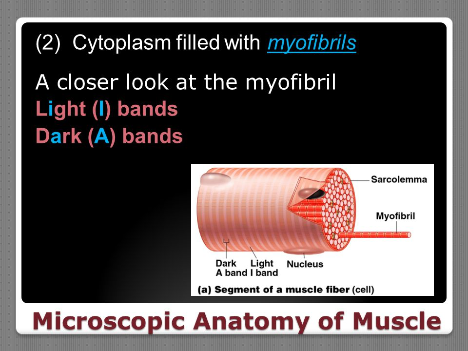 Microscopic Anatomy of Muscle (2) Cytoplasm filled with myofibrils A closer look at the myofibril Light (I) bands Dark (A) bands