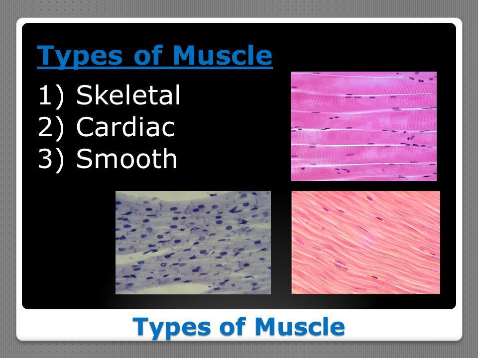 Types of Muscle 1)Skeletal 2)Cardiac 3)Smooth