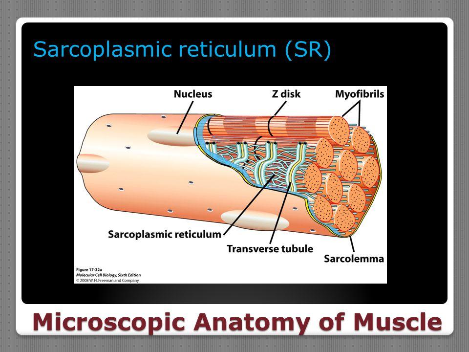 Microscopic Anatomy of Muscle Sarcoplasmic reticulum (SR)