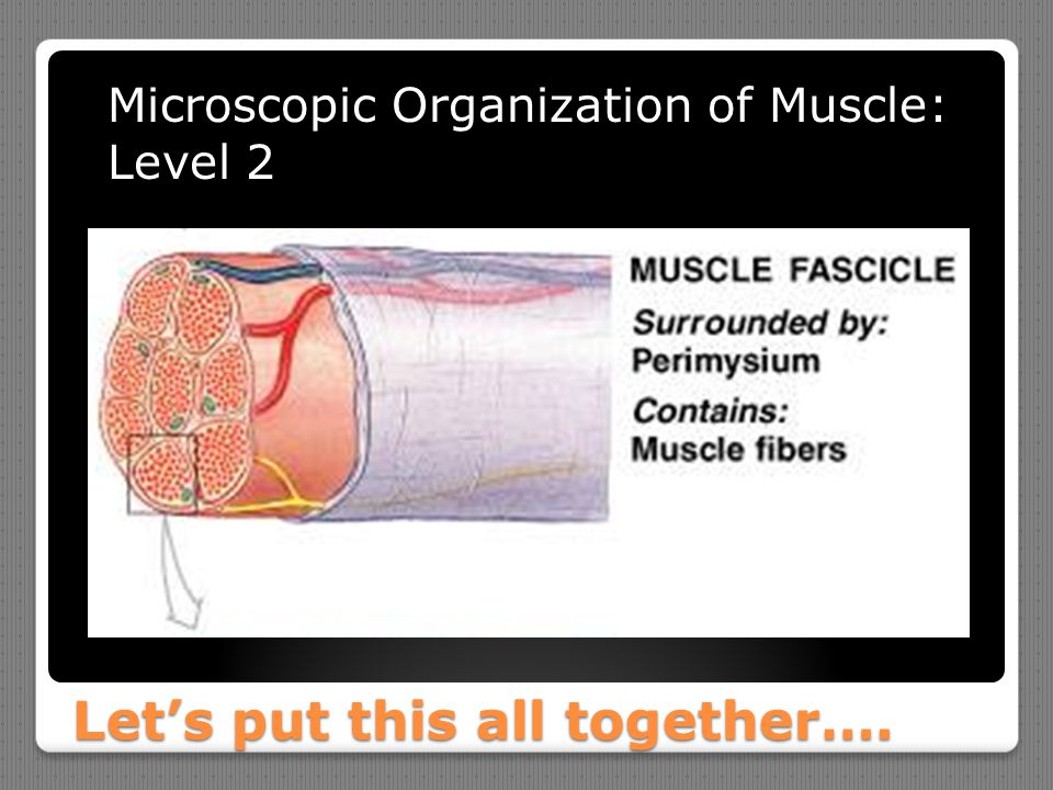 Let's put this all together…. Microscopic Organization of Muscle: Level 2