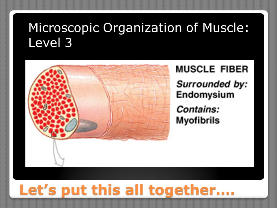 Let's put this all together…. Microscopic Organization of Muscle: Level 3