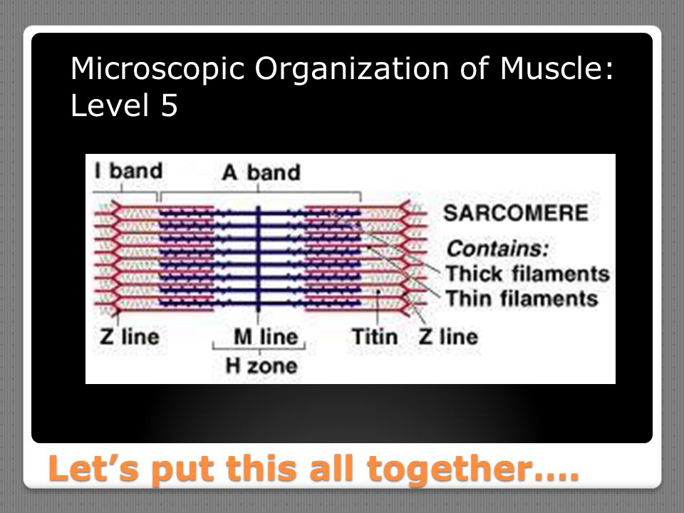Let's put this all together…. Microscopic Organization of Muscle: Level 5