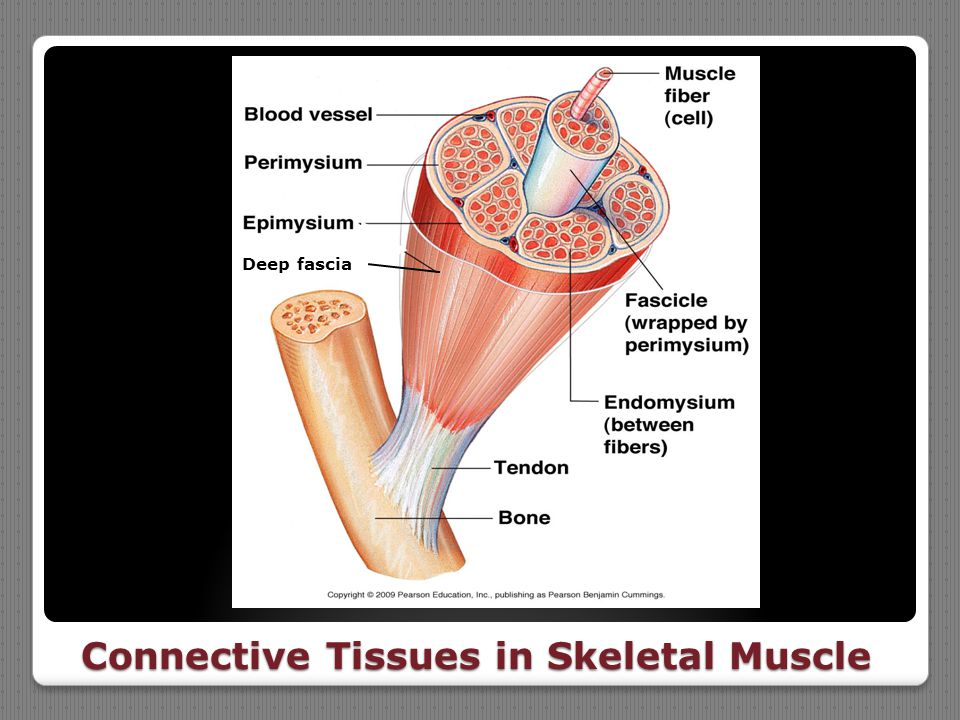 Connective Tissues in Skeletal Muscle Deep fascia