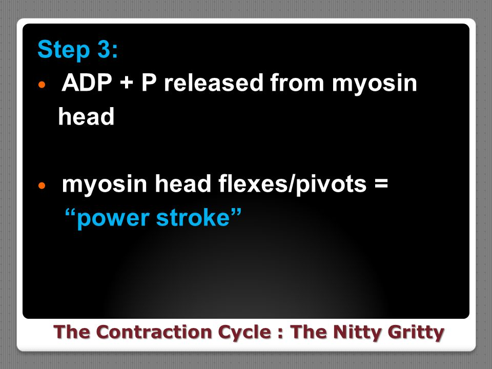 "The Contraction Cycle : The Nitty Gritty Step 3: ADP + P released from myosin head myosin head flexes/pivots = ""power stroke"""