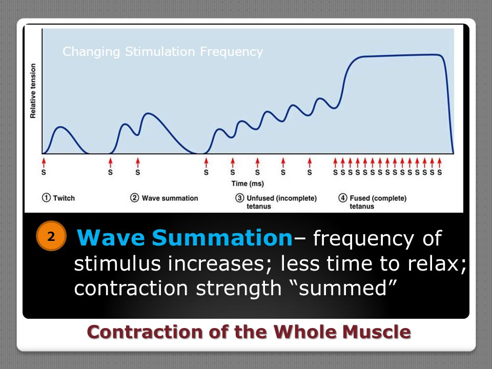 "Contraction of the Whole Muscle Wave Summation– frequency of stimulus increases; less time to relax; contraction strength ""summed"" 2 Changing Stimulat"