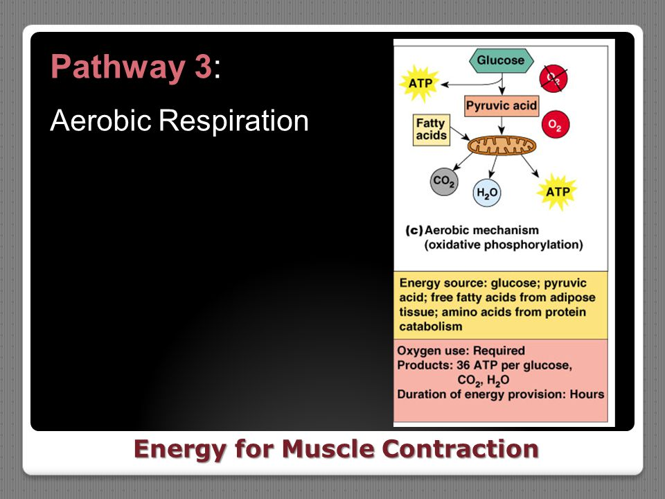 Energy for Muscle Contraction Pathway 3: Aerobic Respiration