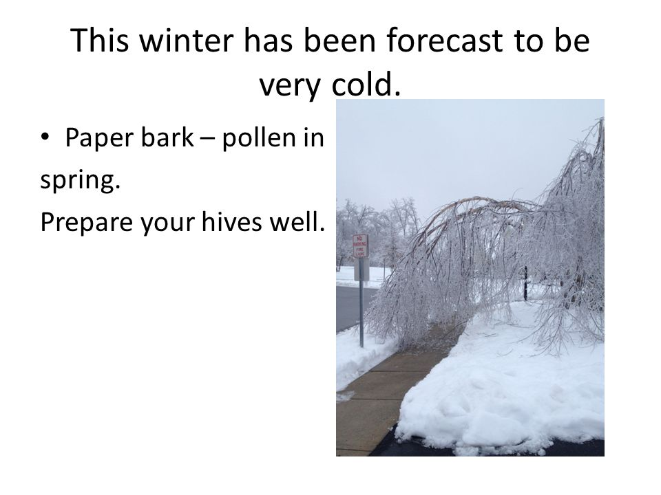 This winter has been forecast to be very cold. Paper bark – pollen in spring. Prepare your hives well.