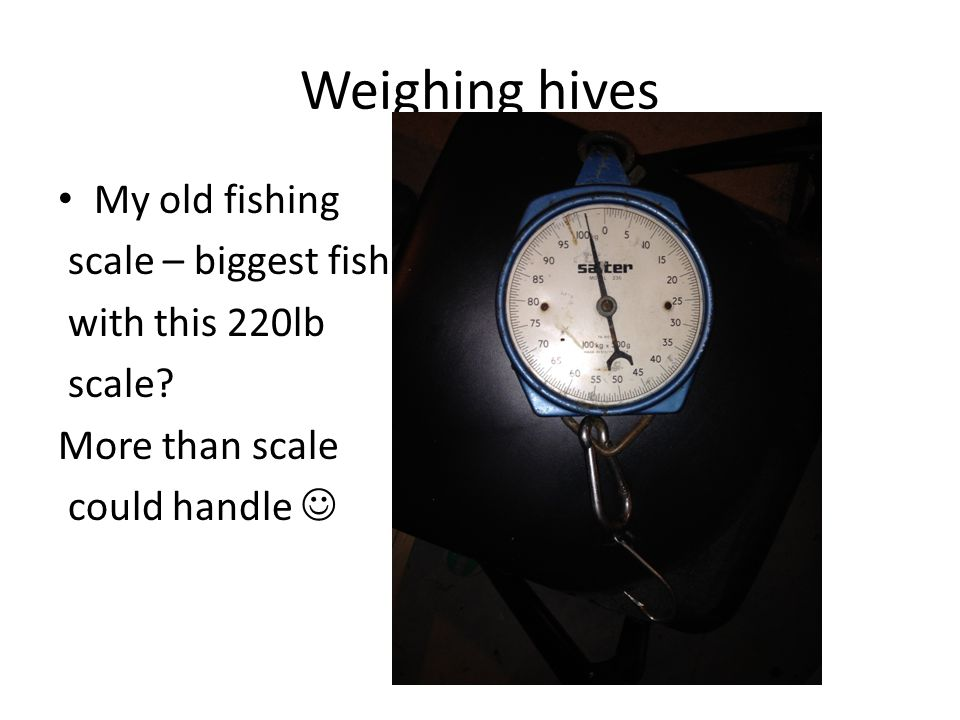 Weighing hives My old fishing scale – biggest fish with this 220lb scale.