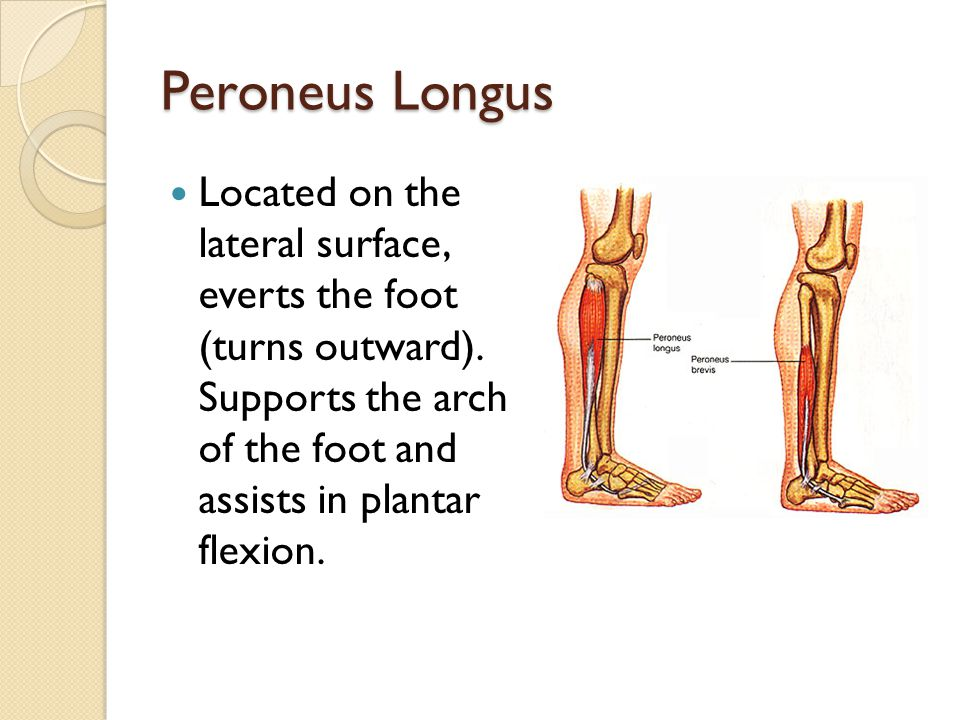 Peroneus Longus Located on the lateral surface, everts the foot (turns outward). Supports the arch of the foot and assists in plantar flexion.
