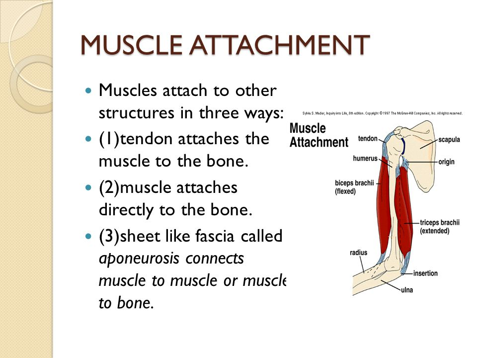 MUSCLE ATTACHMENT Muscles attach to other structures in three ways: (1)tendon attaches the muscle to the bone. (2)muscle attaches directly to the bone