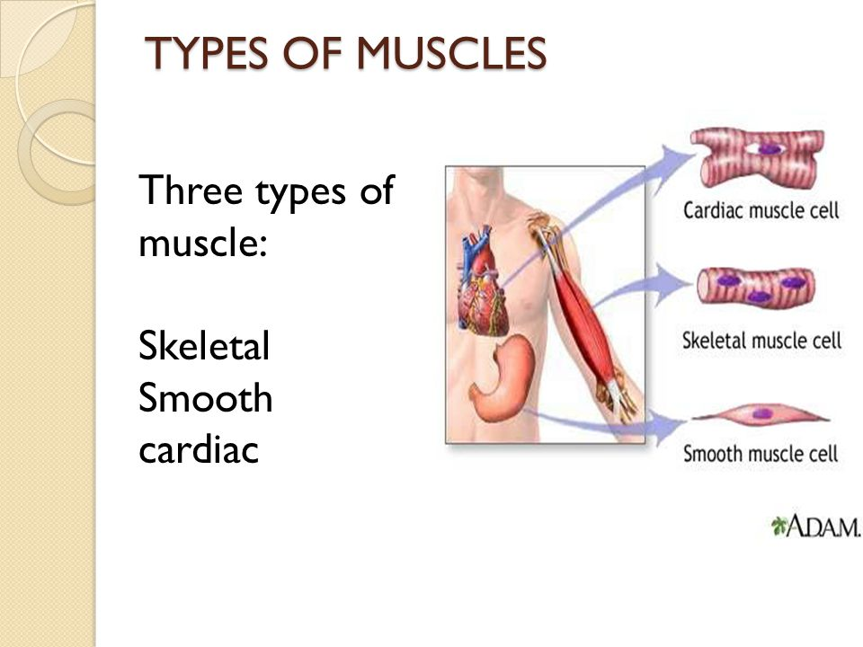 TYPES OF MUSCLES Three types of muscle: Skeletal Smooth cardiac