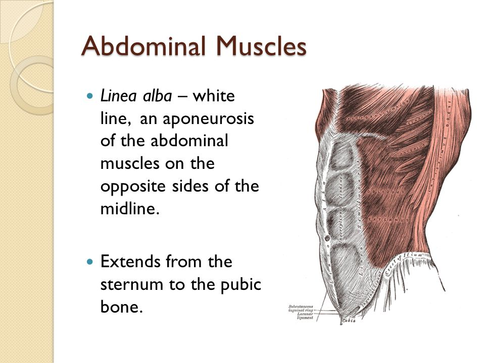 Abdominal Muscles Linea alba – white line, an aponeurosis of the abdominal muscles on the opposite sides of the midline. Extends from the sternum to t