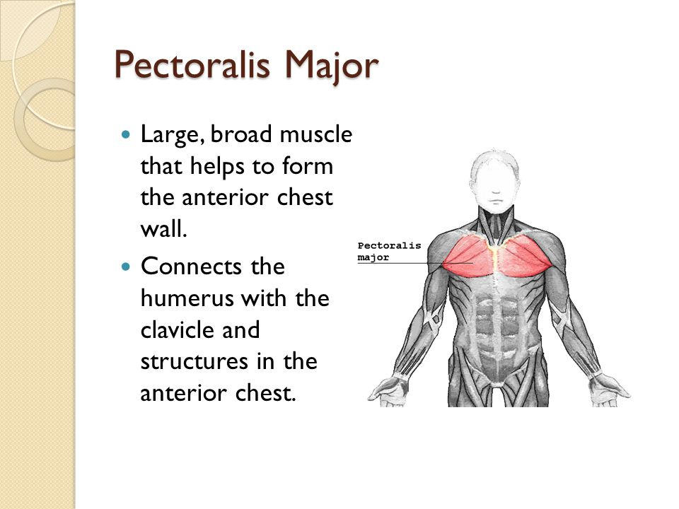 Pectoralis Major Large, broad muscle that helps to form the anterior chest wall. Connects the humerus with the clavicle and structures in the anterior