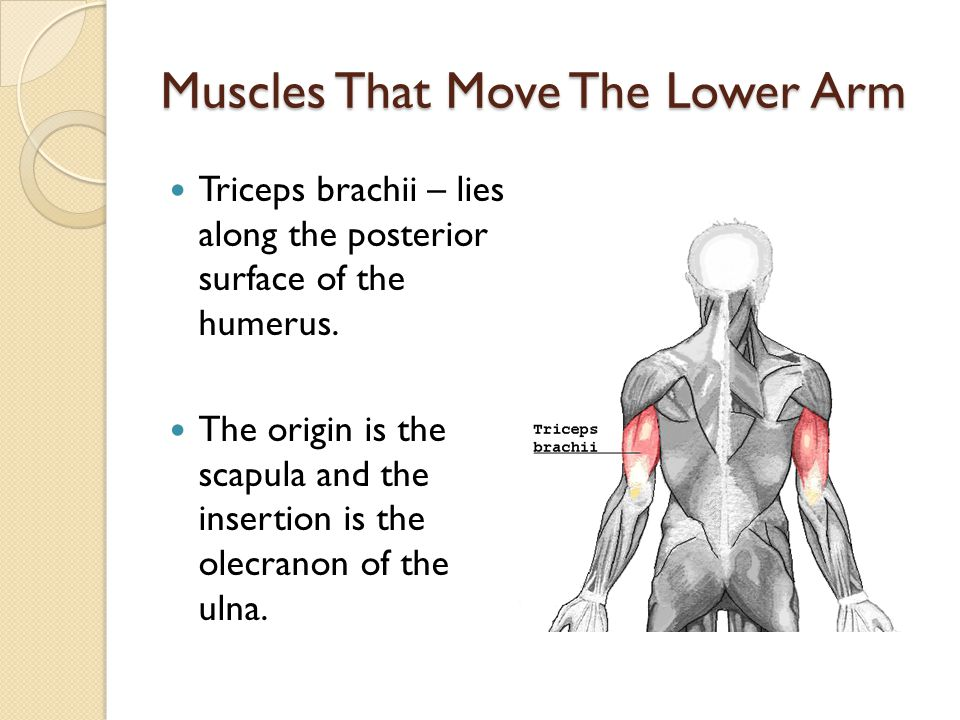Muscles That Move The Lower Arm Triceps brachii – lies along the posterior surface of the humerus. The origin is the scapula and the insertion is the