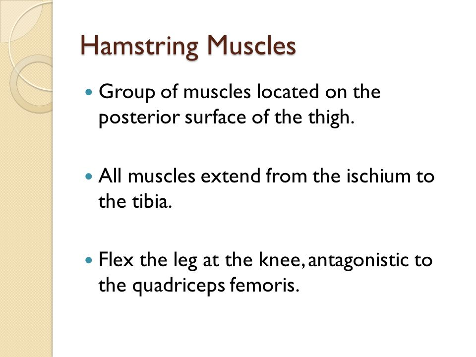 Hamstring Muscles Group of muscles located on the posterior surface of the thigh. All muscles extend from the ischium to the tibia. Flex the leg at th