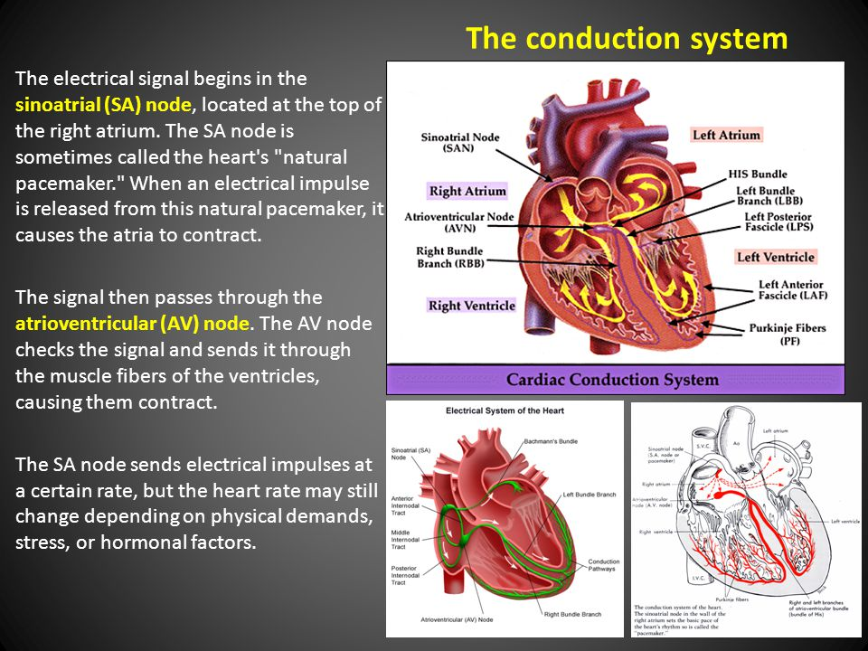 The conduction system The electrical signal begins in the sinoatrial (SA) node, located at the top of the right atrium.