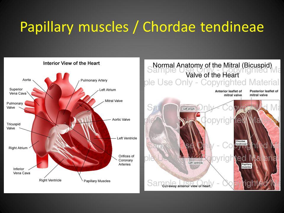 Papillary muscles / Chordae tendineae