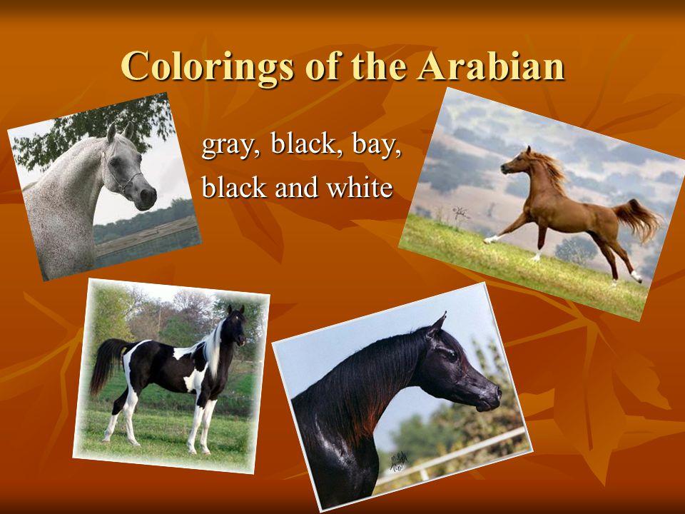 Colorings of the Arabian gray, black, bay, gray, black, bay, black and white black and white
