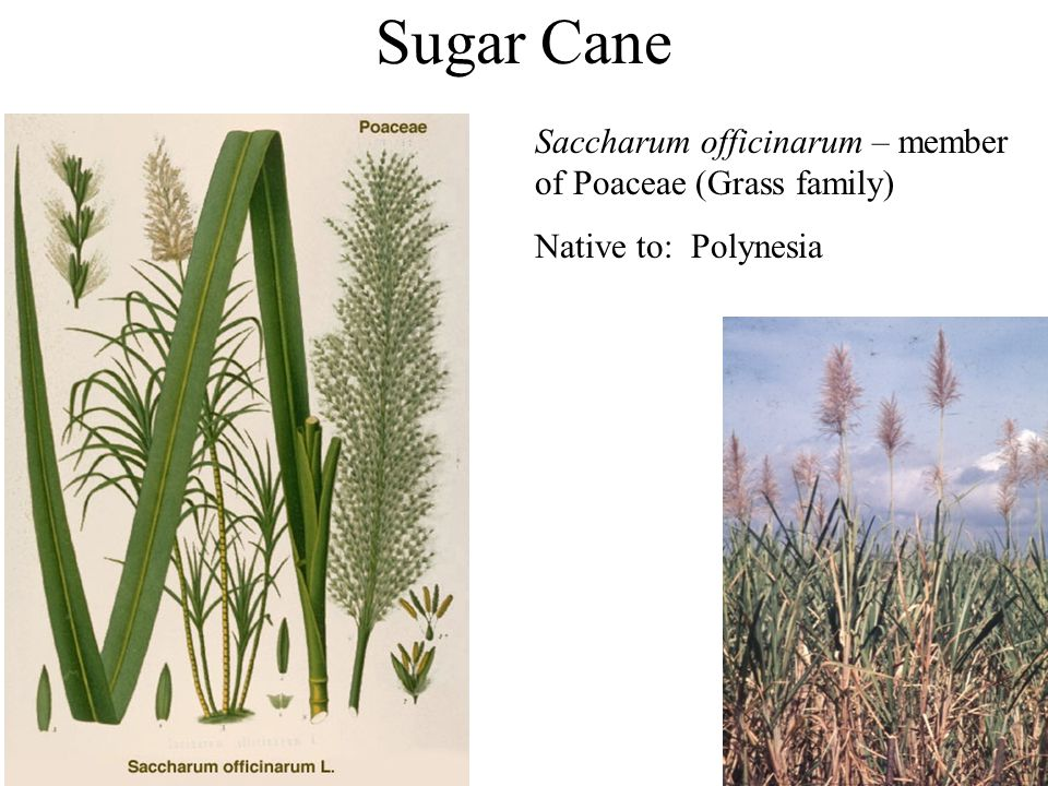 Sugar Cane Saccharum officinarum – member of Poaceae (Grass family) Native to: Polynesia