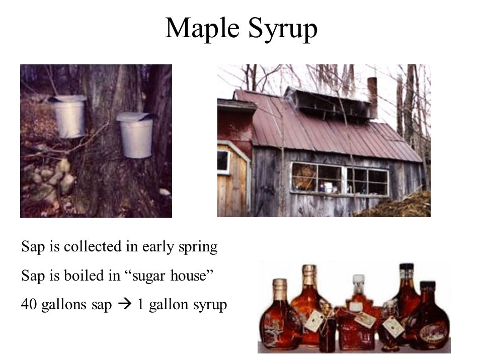 Maple Syrup Sap is collected in early spring Sap is boiled in sugar house 40 gallons sap  1 gallon syrup