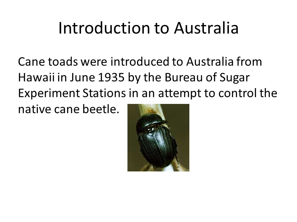 Introduction to Australia Cane toads were introduced to Australia from Hawaii in June 1935 by the Bureau of Sugar Experiment Stations in an attempt to control the native cane beetle.