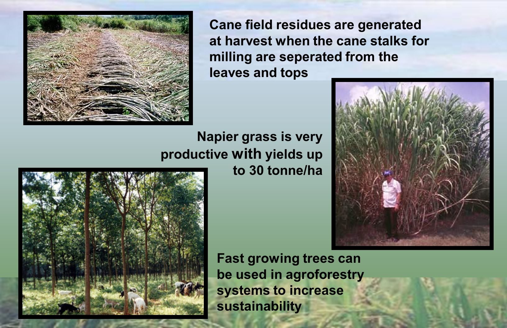 Finding a Greenfuel Alternative to Bunker Oil for Sugar Cane Milling This paper examines the use of three biological resources (cane residues, napier grass and fast growing trees) as possible energy sources for creating: a more competitively priced local fuel than expensive imported oil (now approaching $40/barrel) Reduced greenhouse gas emissions by eliminating the emissions associated with burning 365,000 barrels of bunker oil annually in the milling industry Greater employment for peasant farmers and rural workers Opportunities for year round power generation from the sugar cane industry