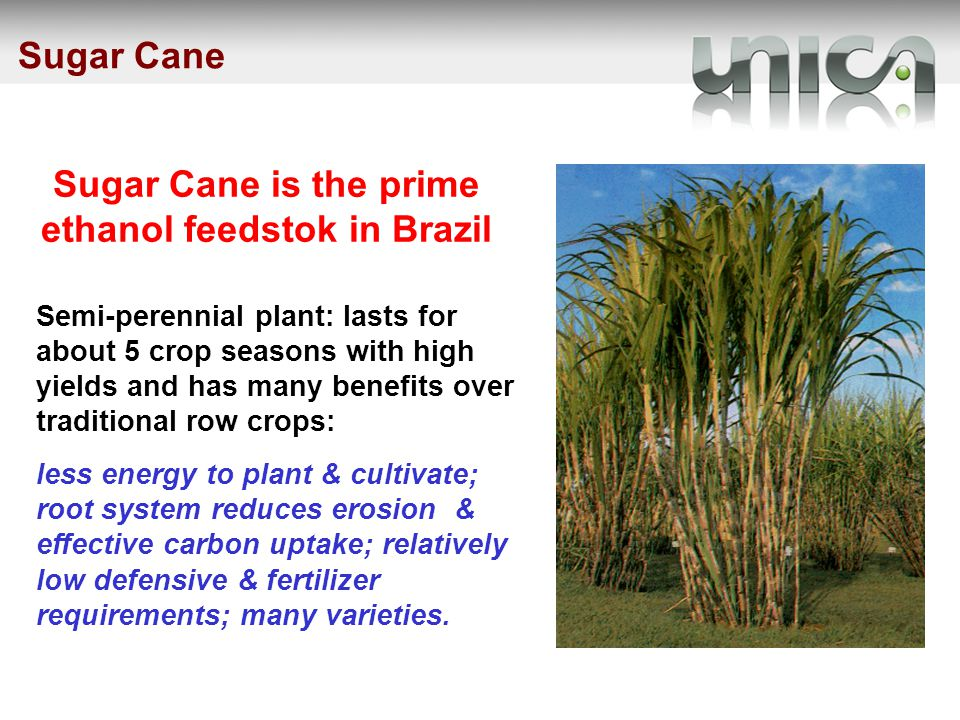 Sugar Cane is the prime ethanol feedstok in Brazil Semi-perennial plant: lasts for about 5 crop seasons with high yields and has many benefits over traditional row crops: less energy to plant & cultivate; root system reduces erosion & effective carbon uptake; relatively low defensive & fertilizer requirements; many varieties.