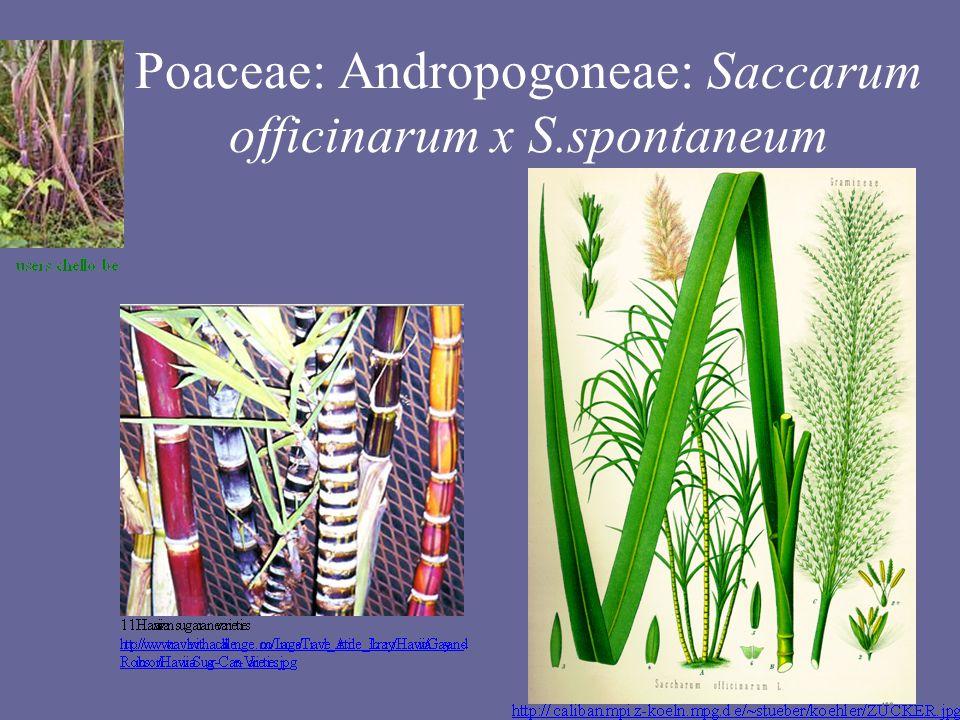 Poaceae: Andropogoneae: Saccarum officinarum x S.spontaneum