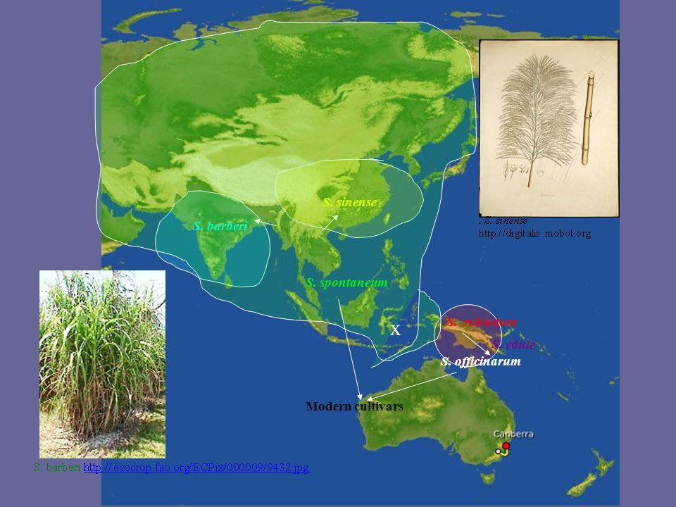 S. robustum S. officinarum S. barberi S. sinense S. spontaneum x S. edule Modern cultivars