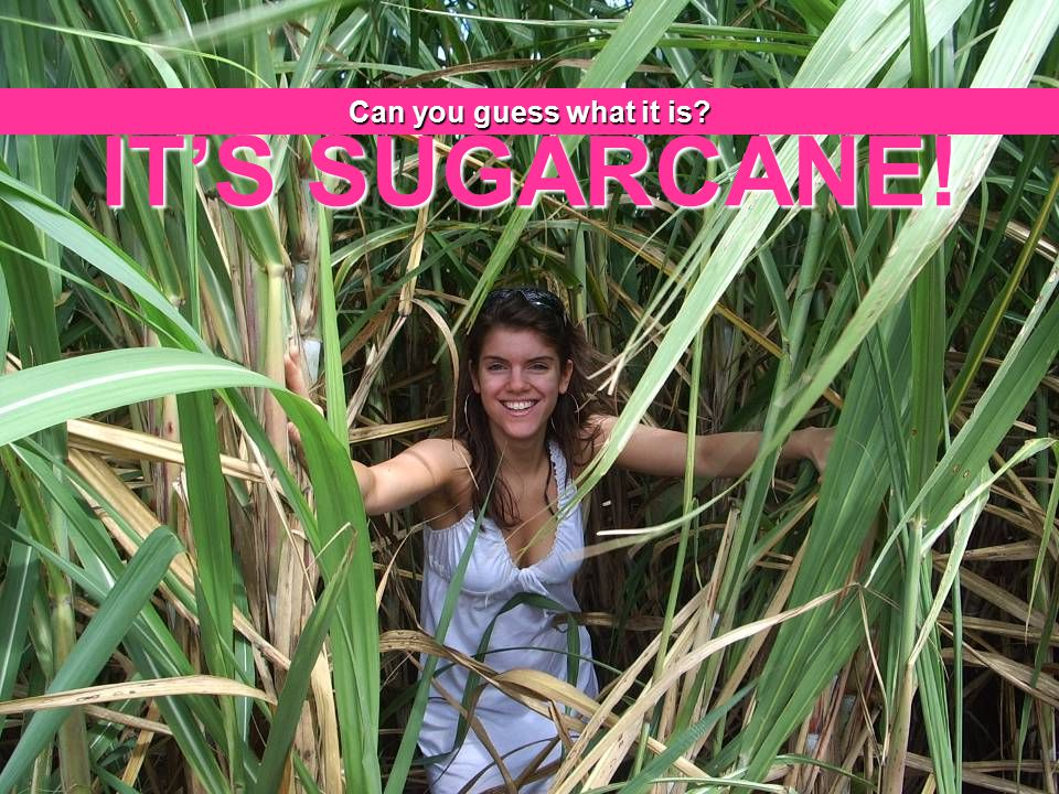 Can you guess what it is IT'S SUGARCANE!