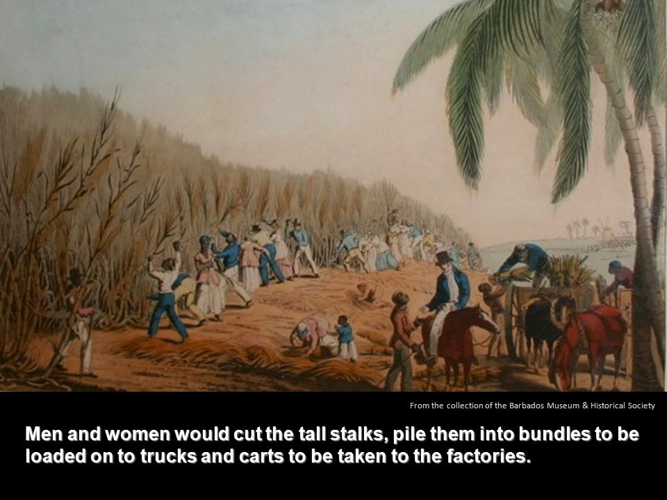 Men and women would cut the tall stalks, pile them into bundles to be loaded on to trucks and carts to be taken to the factories.