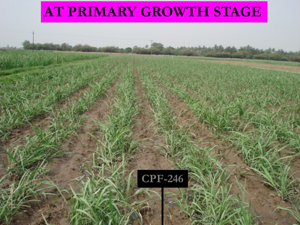 CPF-246 AT PRIMARY GROWTH STAGE