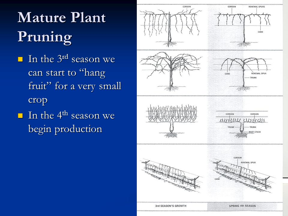 Mature Plant Pruning In the 3 rd season we can start to hang fruit for a very small crop In the 3 rd season we can start to hang fruit for a very small crop In the 4 th season we begin production In the 4 th season we begin production