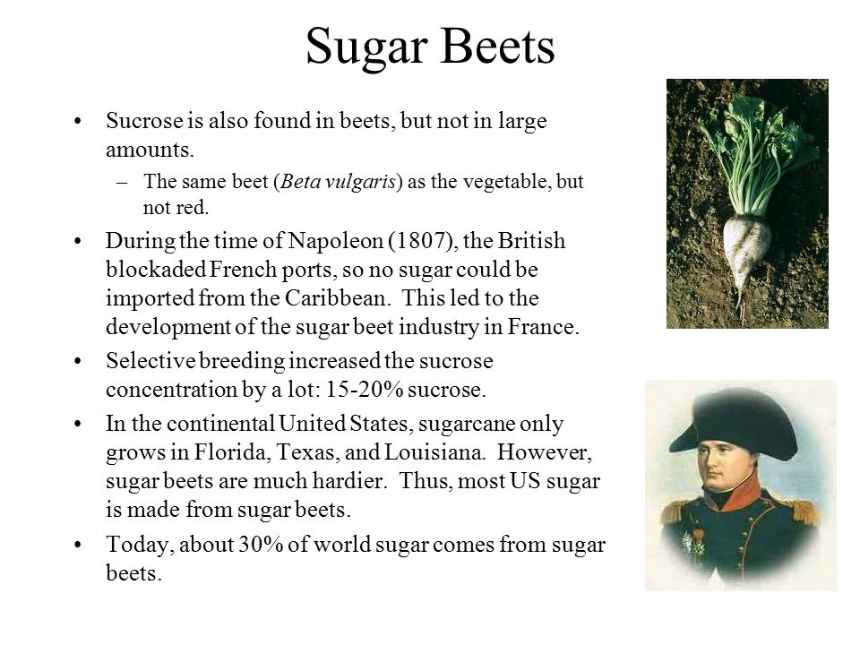 Sugar Beets Sucrose is also found in beets, but not in large amounts. –The same beet (Beta vulgaris) as the vegetable, but not red. During the time of