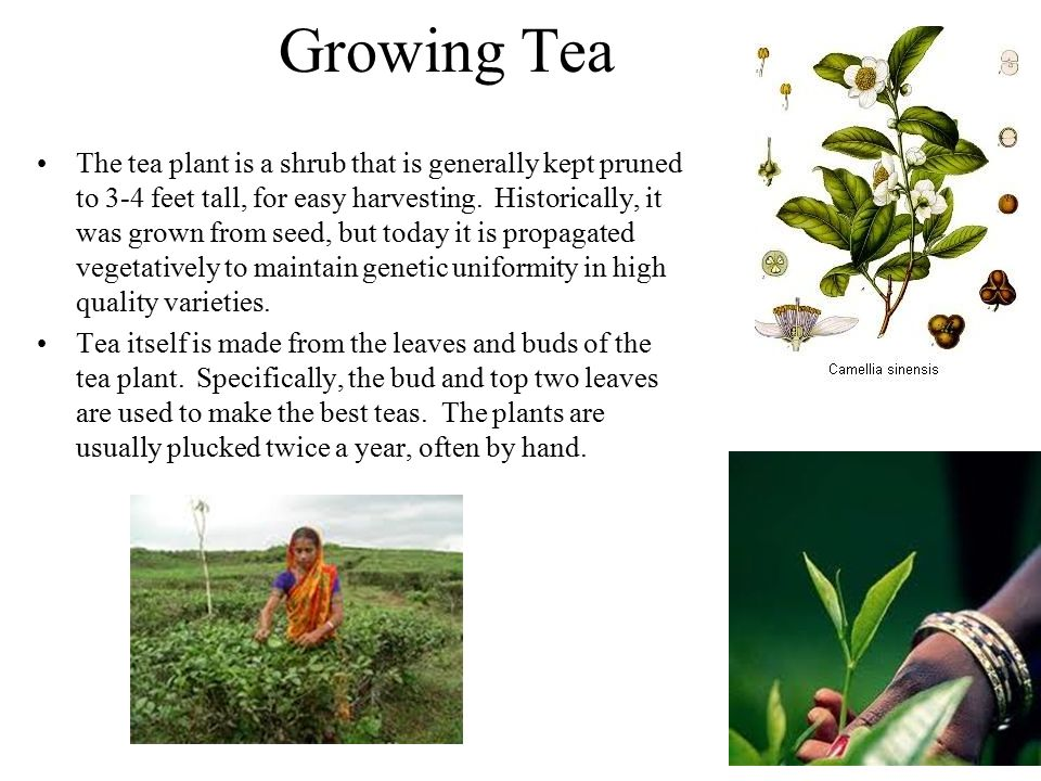Growing Tea The tea plant is a shrub that is generally kept pruned to 3-4 feet tall, for easy harvesting.