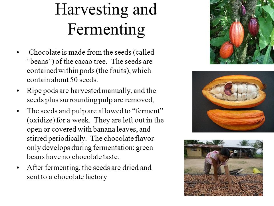 Harvesting and Fermenting Chocolate is made from the seeds (called beans ) of the cacao tree.