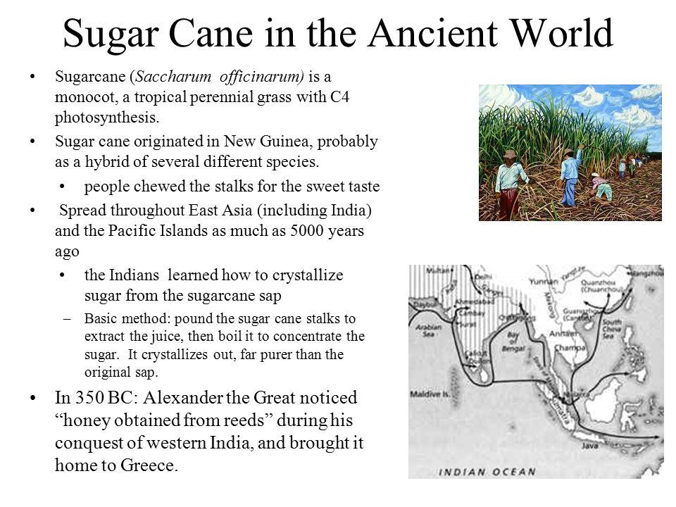 Sugar Cane in the Ancient World Sugarcane (Saccharum officinarum) is a monocot, a tropical perennial grass with C4 photosynthesis. Sugar cane originat